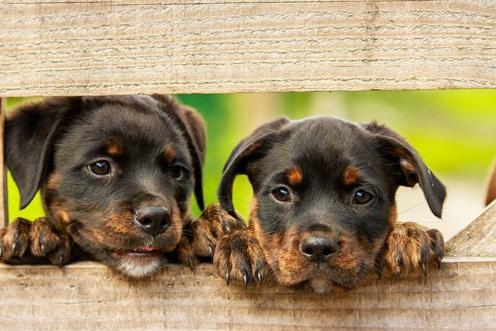 Know About Rottweiler Temperament
