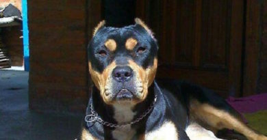 pitbull and rottweiler mix